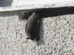 Hanging bat. Bat hanging on balcony closeup on a spring day in March, Stockholm, Sweden.