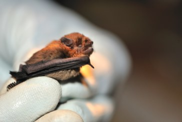 Bat roosts on development sites – what to do