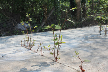 Trialling a new membrane to contain Japanese knotweed