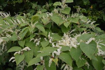 Environet develops new tool for assessing Japanese knotweed risk