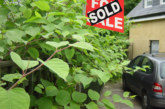 Views shift on Japanese Knotweed